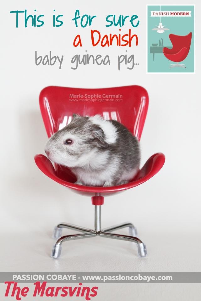 bahy danish guinea pig marsvins
