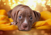 Puppy pitbull yellow blanket 2